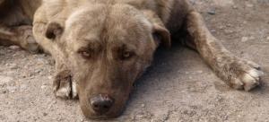 brown-dog